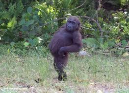 gay gorilla