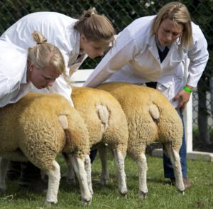 sheeplebums