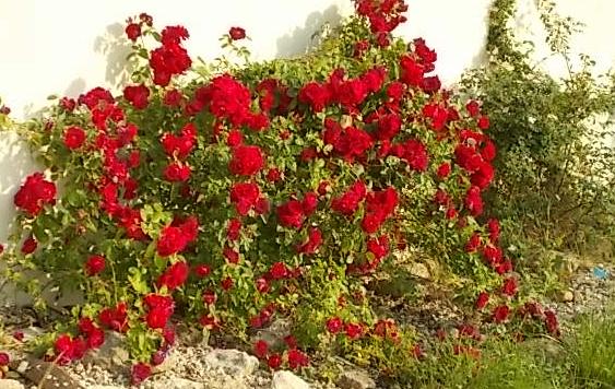 roses2.PNG